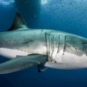 Where have all the great whites gone?